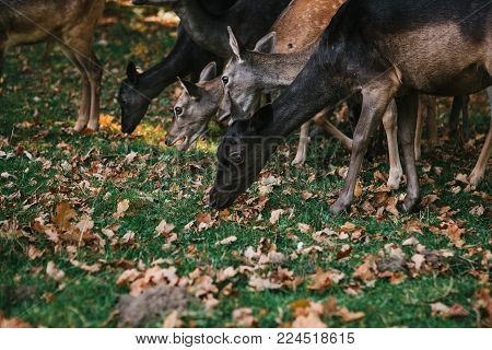 A group of young deer walks through a warm green sunny meadow in a forest next to the trees. Animals are looking for food.