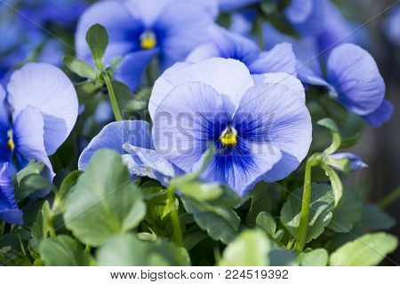 Close-up Of Blue Pansies In The Garden In Spring
