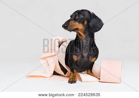 Funny dachshund dog puppy,black and tan, is playing with a roll of peach toilet paper, isolated on gray background