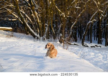 American cocker spaniel against background of a snowy forest. A dog stands in a snowdrift and looks away.