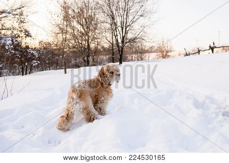 American cocker spaniel stands in a snowdrift. Back view.