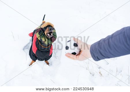 Dog, breed dachshund black and tan, in clothes and a hat, looks at the host's hand with the ball in anticipation of the game. Puppy playing in the game with a man on the snow
