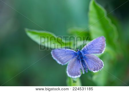 Closeup blue copper butterfly on green leaves with blurred background.