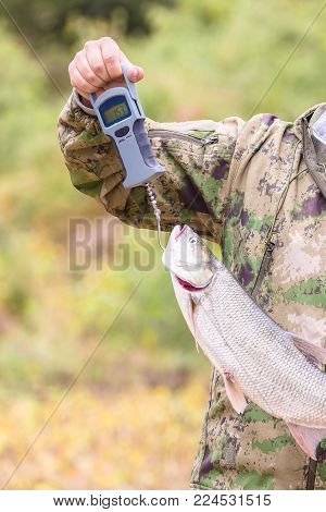 Fishing concept. Asp predatory freshwater fish on weight scales in fisherman hands