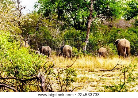 Group of Elephants disappearing in the forest after having been at Olifantdrinkgat, a watering hole near Skukuza Rest Camp, in Kruger National Park in South Africa