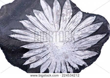 The white flower  Chrysanthemum stone from China isolated on white background
