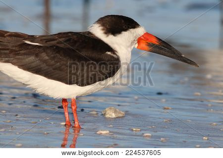 A Black Skimmer, Rynchops niger standing in shallow water at the shoreline