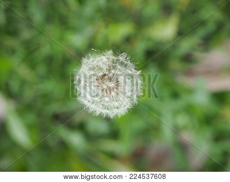 White Dandelion (taraxacum Officinale) Aka Common Dandelion Flower Bloom Over Bokeh Blurred Backgrou