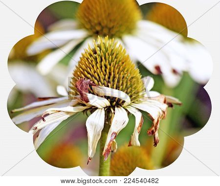 Golden seeds of the Cone Flower plant.  White petals are withered and faded at the end of summer
