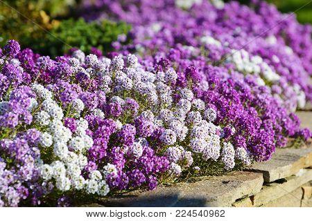 White, Lilac And Violet Flowers Alyssum On Flowerbed In Summer Garden.