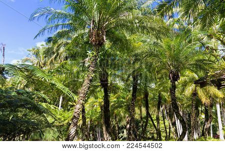 The palm trees in garden of Balata .The Balata is a botanical garden located on the Route de Balata about 10 km outside of Fort-de-France, Martinique, France.