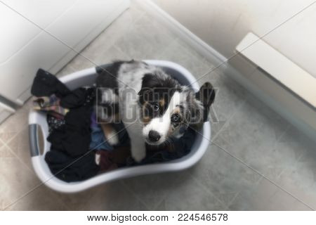 Hi-key, overhead photo in a laundry room of Australian Shepherd puppy in a domestic laundry basked filled with clothes.