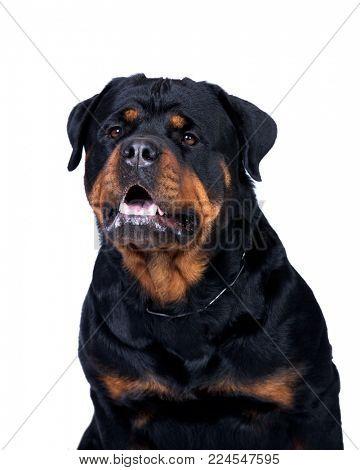 Rottweiler dog lisolated on white background