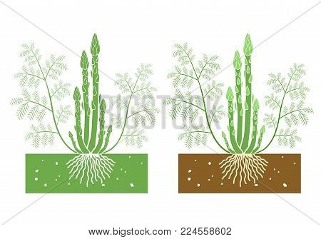 isolated asparagus plant with product vector illustration