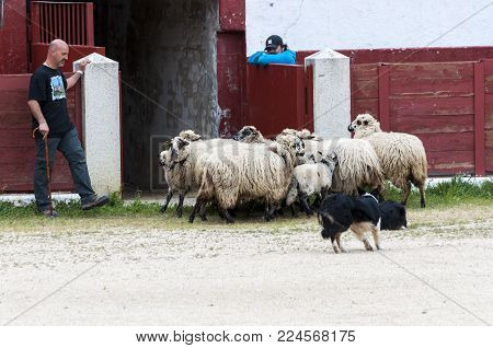 Herding dog working sheep during a demonstration in Colmenar Viejo, Madrid, Spain on April 25, 2015.