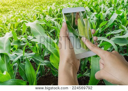 Farmer Using Smart Phone In Corn Field, Modern Technology Application In Agricultural Growing Activi