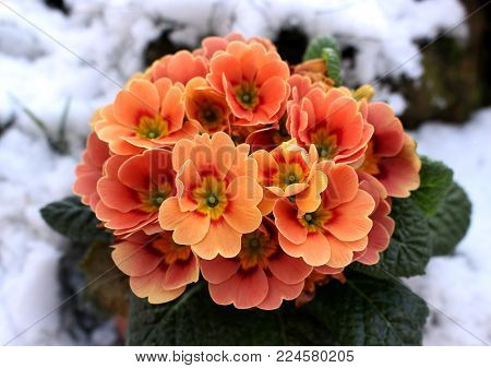 Closeup view flower pink primula in snow. Spring flower ornamental yellow Primula with green leafs . View from above of floral pattern. Primula is a genus of herbaceous flowering plants .