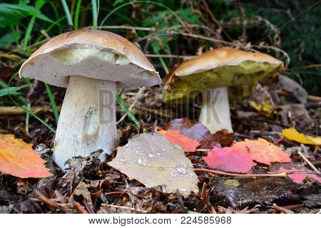 Two Boletus edulis or Penny Bun mushrooms, or Ceps  in natural habitat with some autumn leaves covered with morning dew