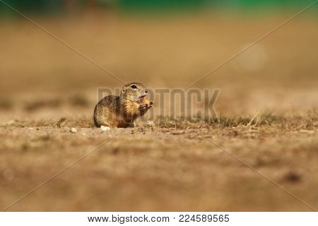 Spermophilus citellus. Wild nature of Czech. The animal on the meadow. In the grass. Beautiful nature. Free nature. The wilderness of Europe.