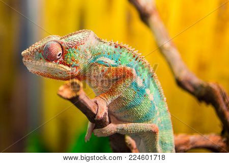chameleon on branch chameleon on branch chameleon on branch