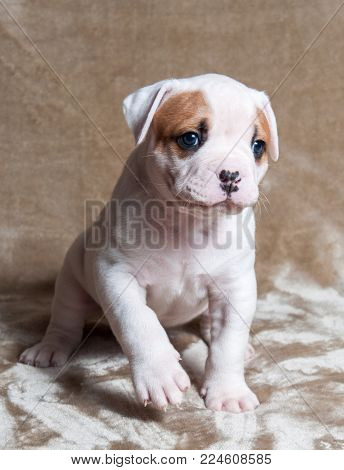 Funny small red white color American Bulldog puppy on light background. The American bulldog puppy is a stocky, well built, strong-looking dog, with a large head and a muscular build.