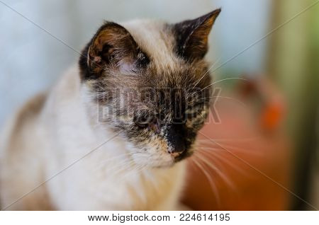 Photograph of a white cat with blue eyes and dark spots.