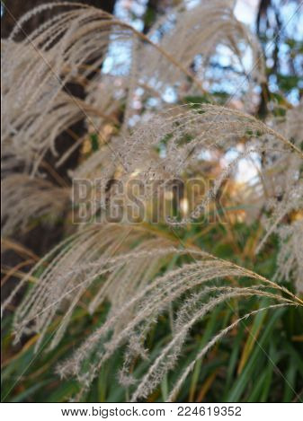 Beautiful Japanese susuki pampas grass in downtown Tokyo. Soft, fluffy, wild and natural. Detailed view with bokeh background. Shot inside downtown Tokyo.
