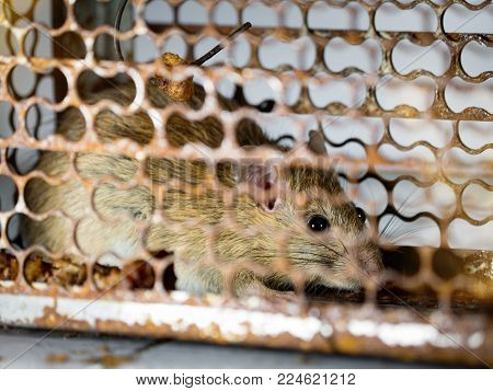 soft focus of the rat in a cage catching a rat. the rat has contagion the disease to humans such as Leptospirosis, Plague. Homes and dwellings should not have mice. concept of Sanitation and Health.