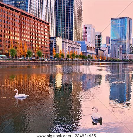 Pair of swans swimming amongst the reflections of downtown Tokyo, Japan. A pair of swans, Cygnus cygnus, swimming in city building reflections in downtown Tokyo, Japan.