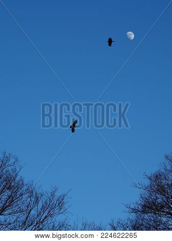 Two Jungle crows silhouetted by the moon fly above the forest tree tops. Two Jungle Crows, Corvus Macrohynchos, fly above the forest branches and are silhouetted by the moon against the evening dark blue sky. Two thirds moon is bright and clear in the top