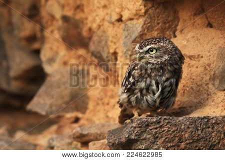Athene noctua. The wild nature of the Czech Republic. Free nature. From Owl's Life. Owl on the stone. Beautiful picture. Little owl.