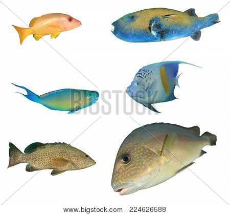 Reef fish isolated on white. Snapper, Puffer, Parrotfish, Angelfish, Grouper and Sweetlips fish cutouts