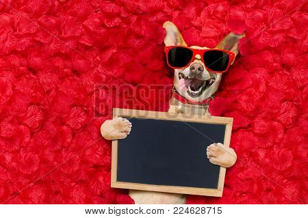 Podenco Dog Resting In  A Bed Of Rose Petals For Valentines Day Happy With Funny Red Sunglasses, Tak