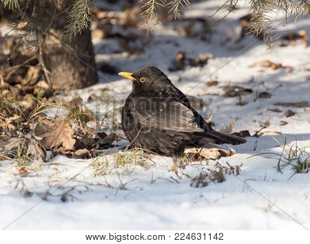 Starling on snow in winter . In the park in nature