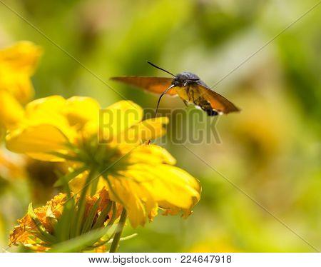 Sphingidae, known as bee Hawk-moth, enjoying the nectar of a yellow flower. Hummingbird moth. Calibri moth. .