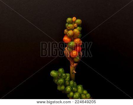 Green and Orange Lords and Ladies Arum Berries on Black