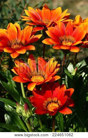 Very bright in red tones gazania flowers have widely revealed on a meeting to the sun.