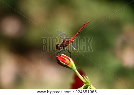 On a difficult background there is a bud of a red flower on which the red dragonfly sits.