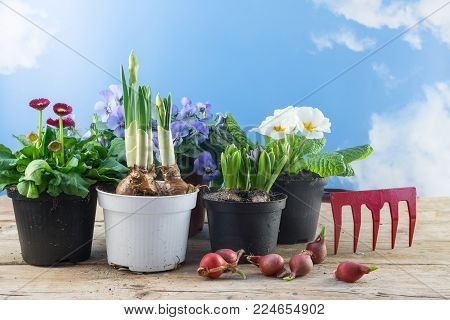 different spring flowers in pots and some flower bulbs on rustic wooden boards against the blue sky with clouds, time for season planting in the garden or balcony, copy space, selectesd focus, narrow depth of field