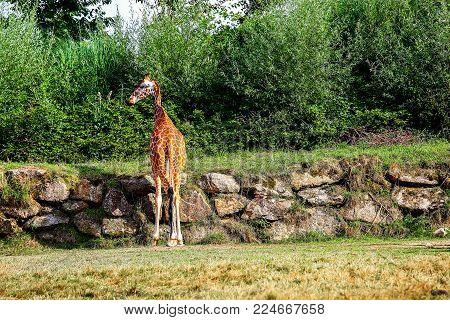 Small girafe standing alone near a rock