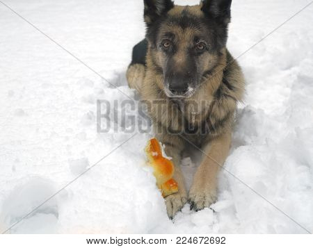 A dog with a toy lying down on the snow demonstrating defensive body language body