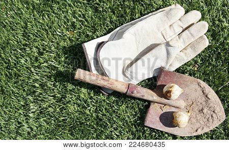 Spring gardening background with rusty dirt covered shovel gloves and tulip bulbs