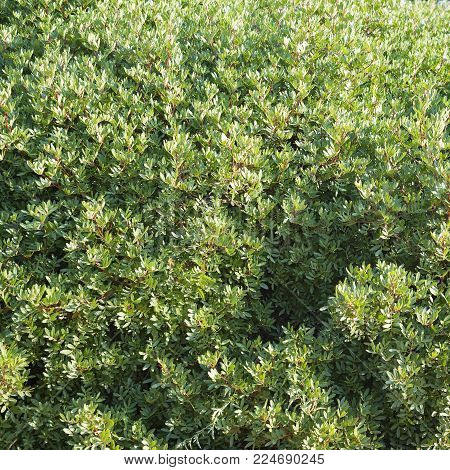 Abstract foliage of green bush in summer background