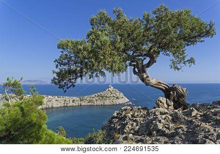 Relict tree-like juniper (Juniperus excelsa) against a cloudless sky. Coast of the Black Sea, Novyy Svet, Crimea.