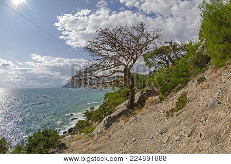 Dead relic pine at the path along the steep seashore. Karaul-Oba, Novyy Svet, Crimea.