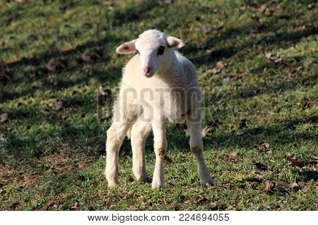 Small white lamb with black eye patches standing on uncut green grass and posing for camera