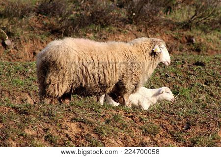 Sheep and little lambs eating uncut winter grass on small hill while one stands and looks around next to them on warm sunny day