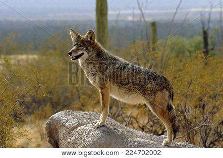 Coyote on the Lookout Standing on Rock. The background is gorgeous with Saguaro Cacti and mountains in soft blues, greens, lavender and golds.
