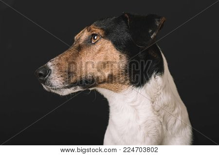Cute dog portrait. Studio shot of adorable terrier dog. Dog over isolated background.