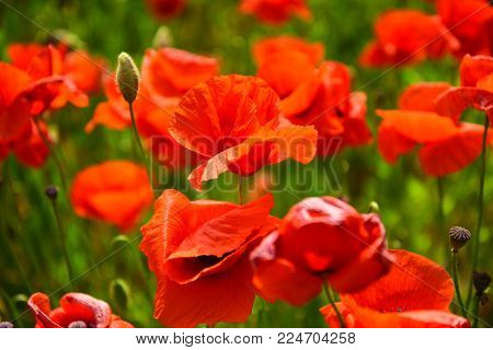 Summer And Spring, Landscape. Drug And Love Intoxication, Opium, Medicinal. Remembrance Day, Anzac D